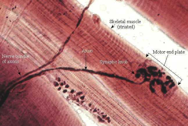 Fibre muscolari e motoneurone