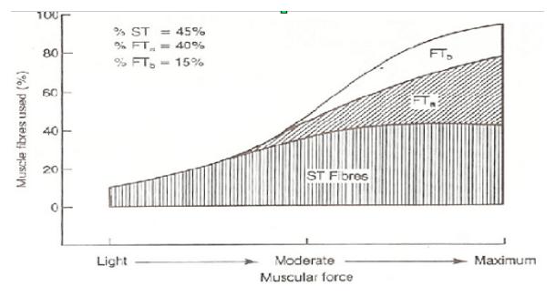 Fibre muscolari e reclutamento