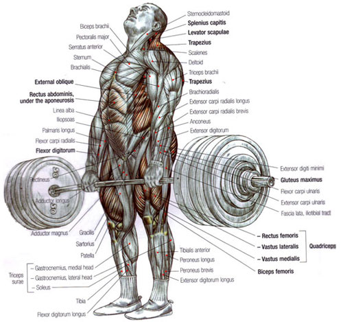 muscles-used-deadlift