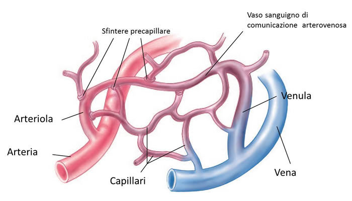 Irrorazione sanguigna capillari