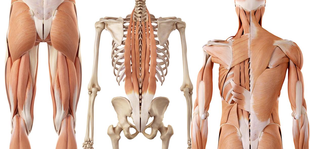 muscoli coinvolti stacchi da terra