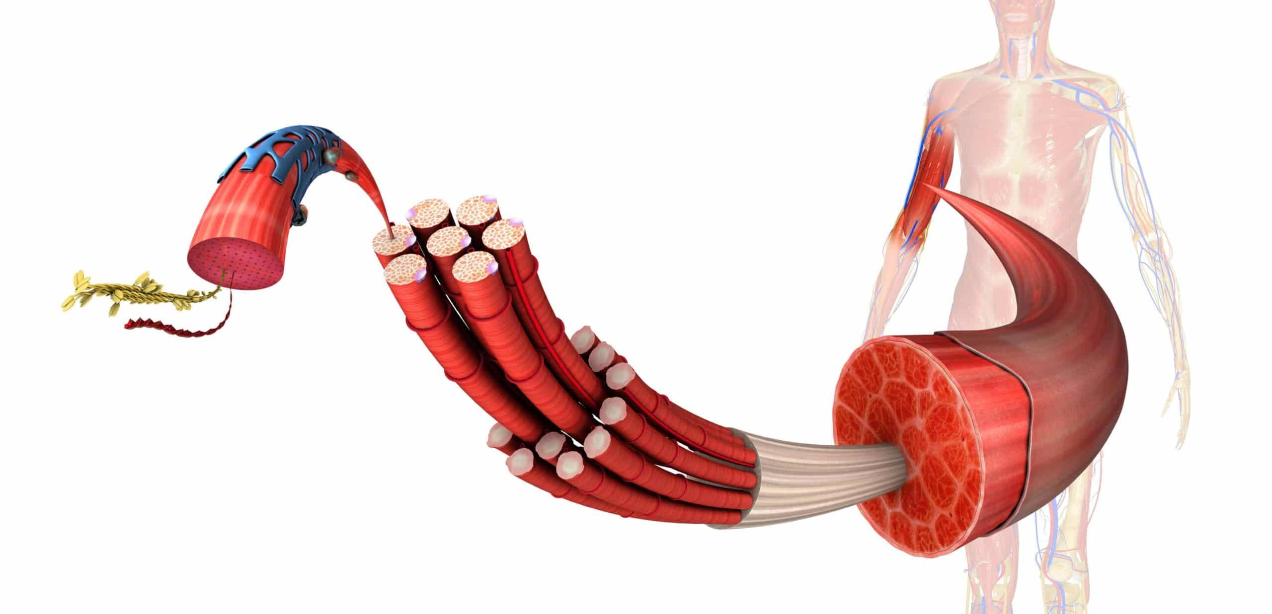 ipertrofia sarcoplasmatica e miofibrillare in palestra