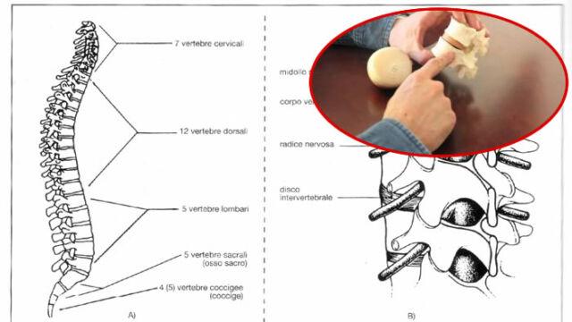 Anatomia funzionale della colonna vertebrale