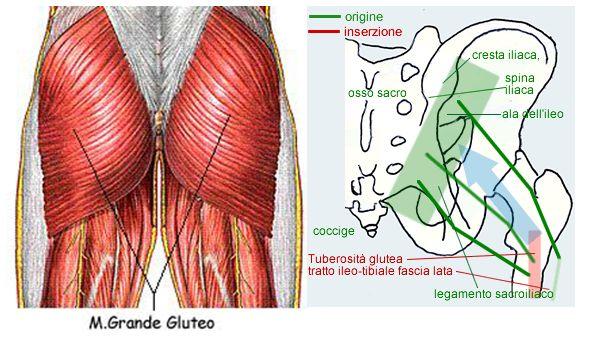 anatomia gluteo
