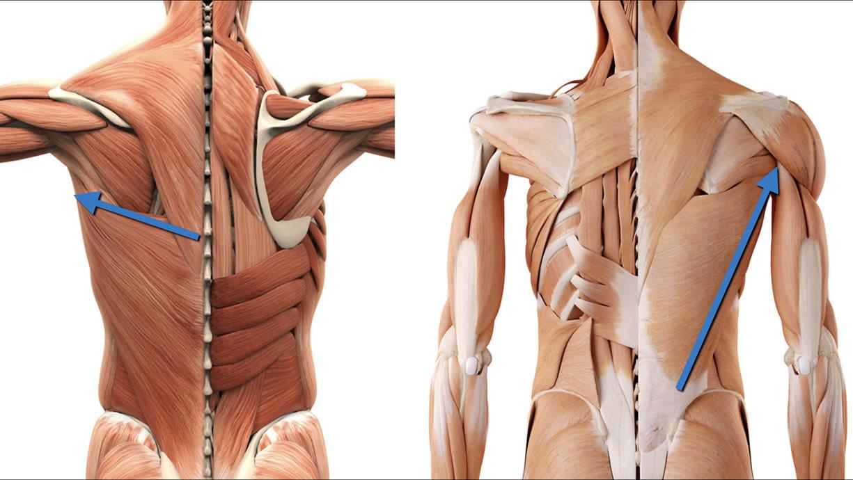 Muscoli gran dorsale