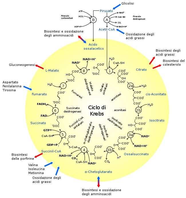 cicli di krebs