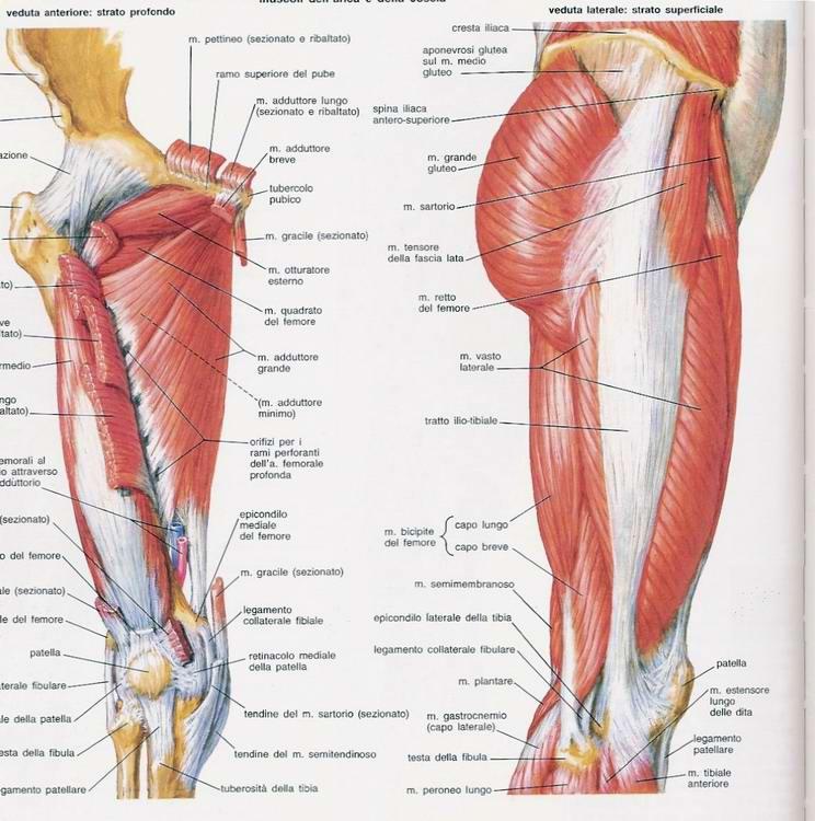 muscoli adduttori abduttori coscia