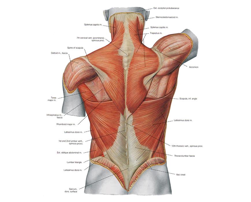 muscoli lat machine