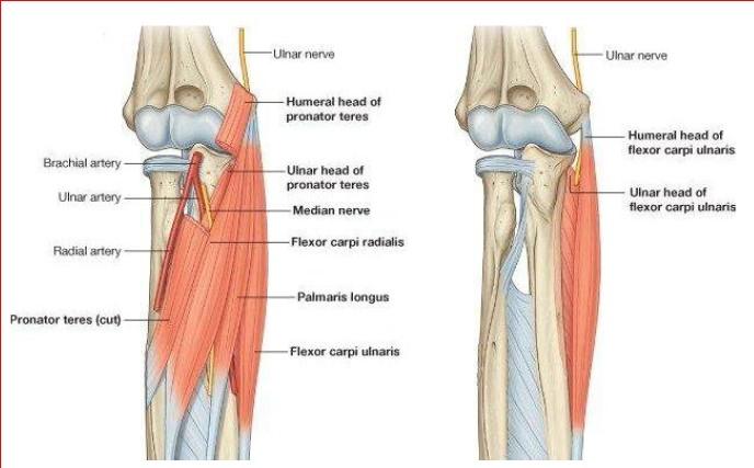 muscoli avambraccio