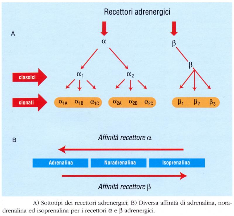 recettori adipocita