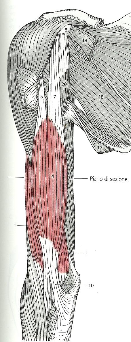 bicipite anatomia