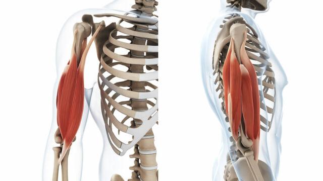 muscoli biarticolari