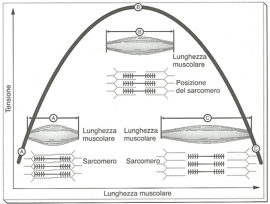 diagramma tensione lunghezza muscolo