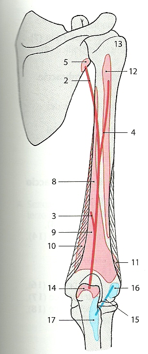 tricipite anatomia