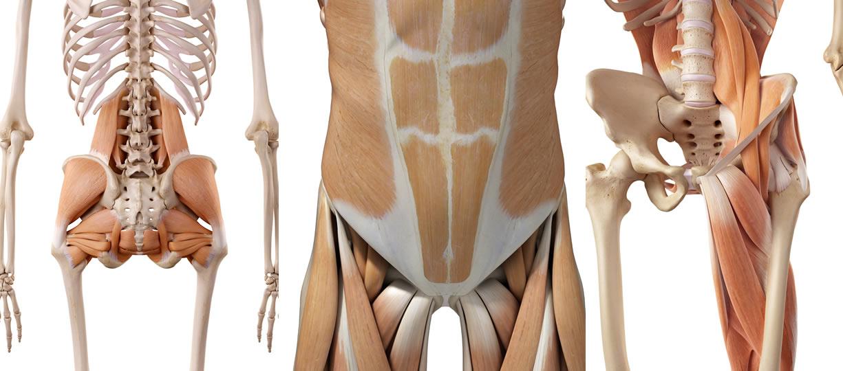 muscoli bacino e colonna lombare