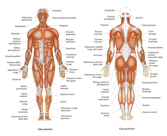 anatomia addominali