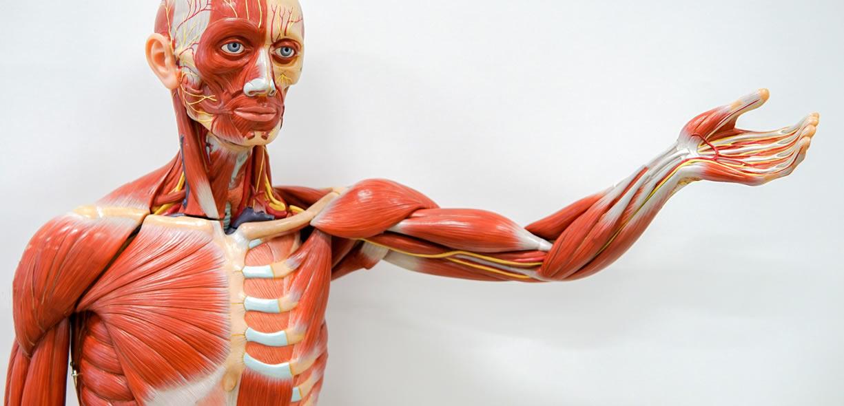 muscoli antagonisti e co-contrazione