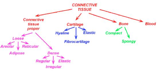 Derivazioni tessuto connettivo