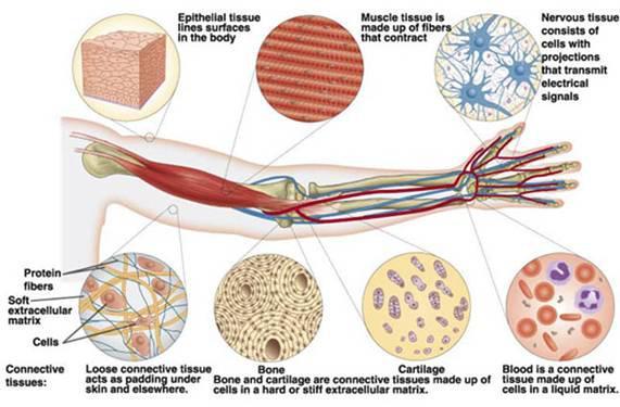 Struttura anatomia tessuti