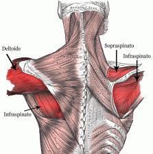 muscoli scapolari