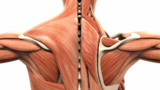muscoli corpo umano