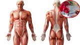 I muscoli del corpo umano: origine, inserzione, funzione e test