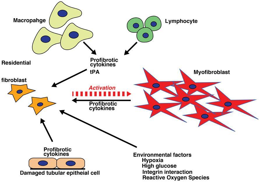 Attività del collagene