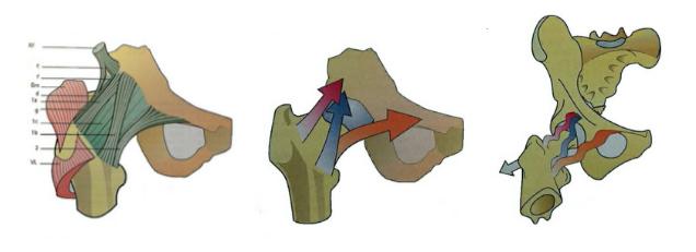 Legamenti anca