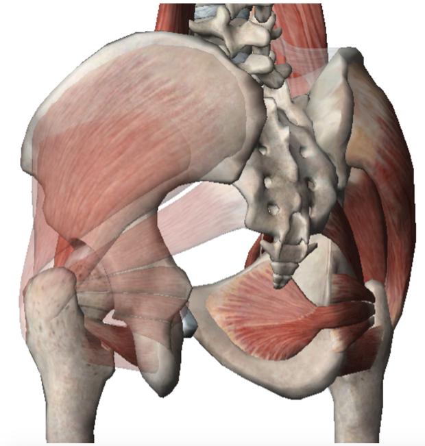 Muscoli medi del bacino