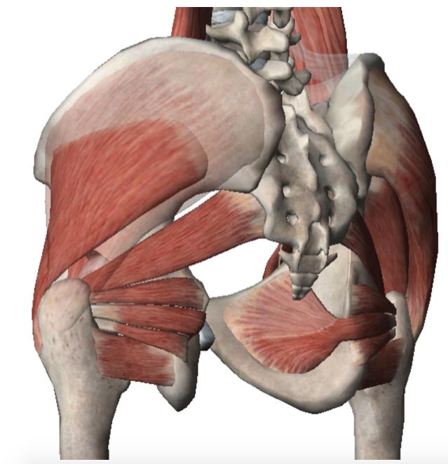 Muscoli profondi del bacino