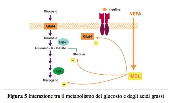 Grassi e Glut-4