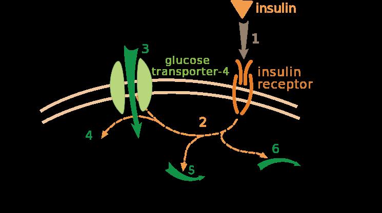 Glut-4 ed insulina
