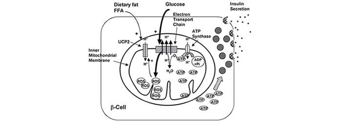 Proteine mitocondriali UCP