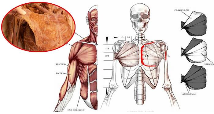 Anatomia pettorale