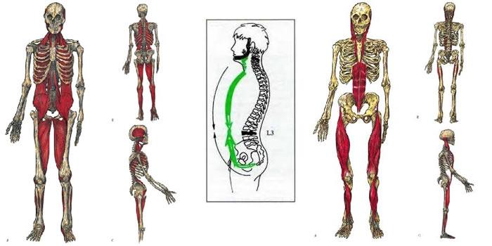 Catena muscolare anteriore