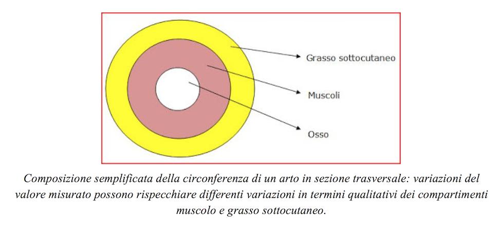 Composizione sezione trasversa arto, osso-muscolo-grasso