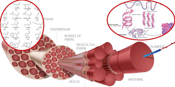 Aminoacidi ABC di biochimica