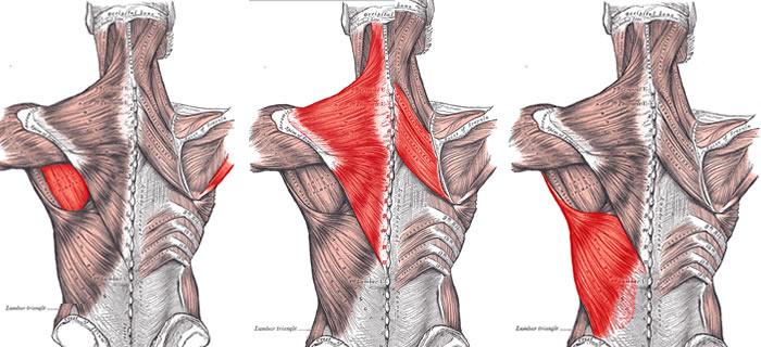 Muscoli della schiena