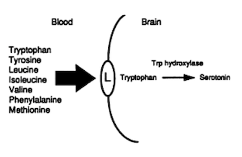 Passaggio aminoacidi cervello