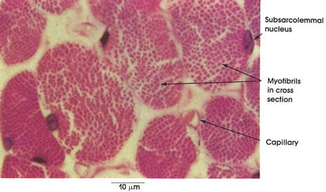 Miofibrille sarcoplasma