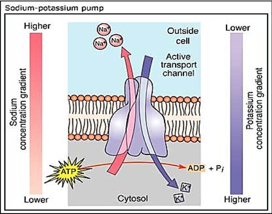 Pompa sodio potassio