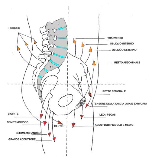 muscoli bacino