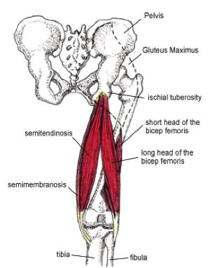 Hamstring_tendons