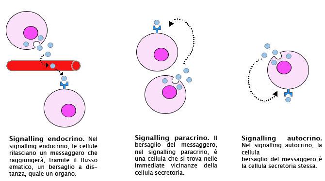paracrino autocrino ormonale