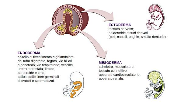 foglietti embrionali