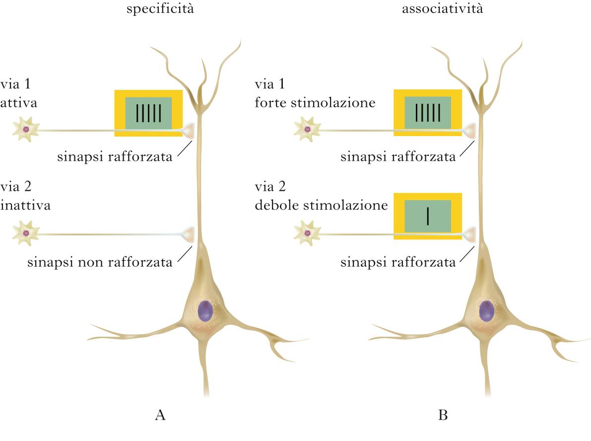 sistema nervoso rinforzo schemi motori