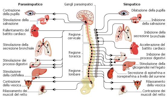 sistema_nervoso_centrale_autonomo_e_periferico