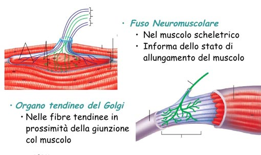 fusi-neuromuscolari-organo-tendieno-del-golgi