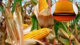 Il mais nell'alimentazione ma anche tanto altro