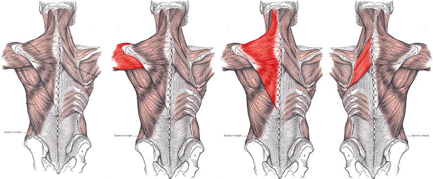 anatomia-deltoide-posteriore